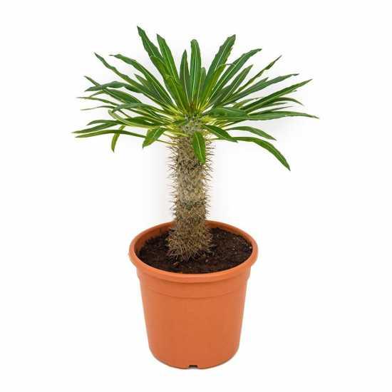 pachypodium lamerei plantas interior