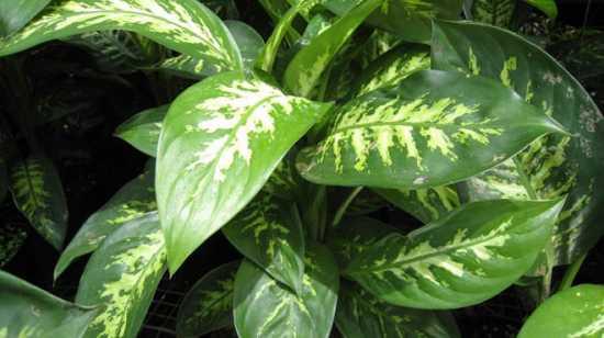 plantas peligrosas dieffenbachia